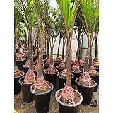 주병야자 대형 여름 분위기 식물 인테리어 공기정화 2m50 