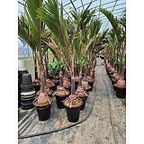 주병야자 대형 여름 분위기 식물 인테리어 공기정화 2m10 
