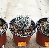 백관/옹옥/등심환(소)-实生 