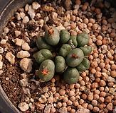 Conophytum |
