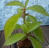 Monadeniumechinulatum(에치눌라툼)|