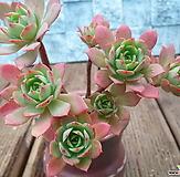 绿蔷薇老庄群生|