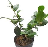 동백나무(中品) 