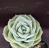 可爱玫瑰(桩)2|