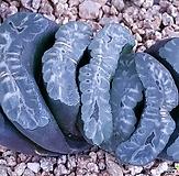 haworthia玉扇中品|