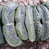 haworthia玉扇-|