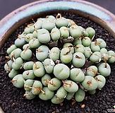 Conophytum (头몸)|