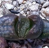 haworthia-이름은모르나귀한아이엽삽입니다|