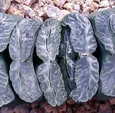 haworthia玉扇|