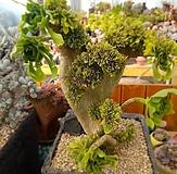 青法师缀化(식물크기세로25cm)|