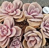 可爱玫瑰(2포트)8202-7260|