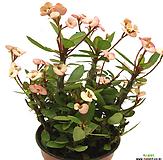꽃기린(粉色꽃/中品)|