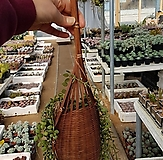 콩란(바스켓걸이용)/행잉플랜트|