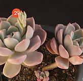 粉色프리티(314-29) 