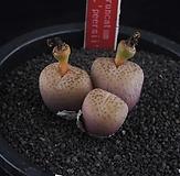 XP2478-C.truncatumvar.wiggettiae,spottedPeersii피어시3头|
