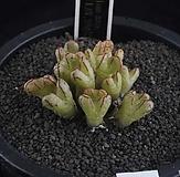 XP2493-ConophytumhelenaeLAV.28467헤레나에群生|