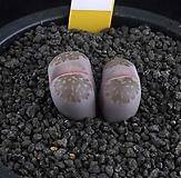 XP2508-?LT.salicolaBacchus자이부인紫李夫人2头|