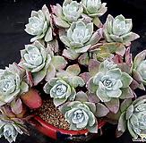 丸葉仙女杯法瑞诺莎15头群生(뿌리있고桩좋아요)|