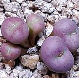 Conophytum 群生-탈피전입니다|