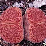 生石花레드大형종|