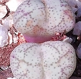 白色的트런카튬(부엉이얼굴)|