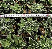 사해파[랜덤] Faucaria tigrina
