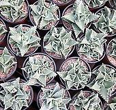 사해파 Faucaria tigrina