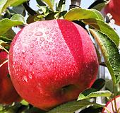사과나무 묘목 3년생 부사/홍로 Echeveria Hongro