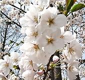 왕벚꽃나무 묘목♥왕벚 벚꽃 벗꽃 벚나무 벗나무|