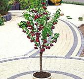 자가수정 체리 6년생 분달이묘♡월동되는 체리나무♡혼자서도 열매맺어요.|