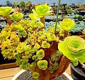 토오즈철화(Aeonium) 최고명품|Aeonium canariense