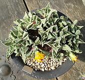 사해파 묵은둥이 Faucaria tigrina