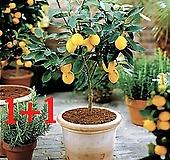 [1+1]스위트 메이어 레몬나무 기획상품|