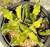 사해파금 Faucaria tigrina