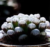 도도손(OB-1) - 특 달마 맑은 창에, 윤기가 좋은 대표적인 옵투사 품종.|Haworthia cymbiformis var. obtusa