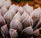 적염(赤染) 옵투사|Haworthia cymbiformis var. obtusa