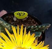 사해파_49 Faucaria tigrina