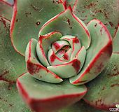 파소도블 (60)|Echeveria Paso Doble