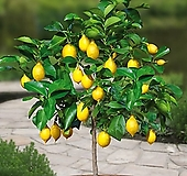 레몬트리-열매수형|