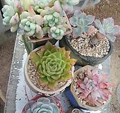6종세트(라울, 엘로우플라워,블루서프라이즈,먼로,레인드랍,라탐|Pachyphy Amazoness