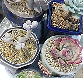 6종세트(아메치스,비취후리데,이든스노우,콜로라타,블루서프라이즈,슈퍼리치|Echeveria Blue Surprise