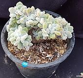프로스티철화-19|Echeveria pulvinata Frosty