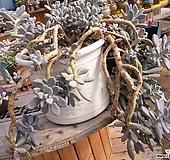 성미인자연군생 특대품|Pachyphytum oviferum