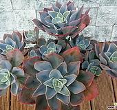 블루칸테 자연특대품|Echeveria Blue cante