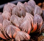 블랙옵투사(블랙옵투샤) 금(적반)|Haworthia cymbiformis var. obtusa