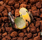 대형 만상금-2012|Haworthia maughanii variegated