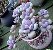 아메치스묵은둥이 흑설분 포함|Graptopetalum amethystinum