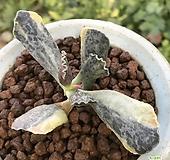 천금장금목대(수입,뿌리무)|Adromischus Hemisphaericus