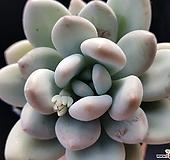 후레뉴1116-1 Pachyphtum cv Frevel