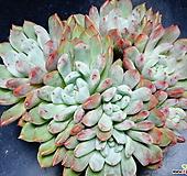 후레뉴교배종65 Pachyphtum cv Frevel
